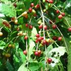Korekafe to unlock mysteries of Haitian coffee